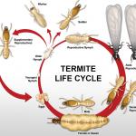 Metamorfosis Rayap: Siklus Hidup dan Keunikannya