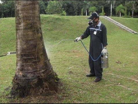 Cara Membasmi Rayap Pada Pohon Mangga